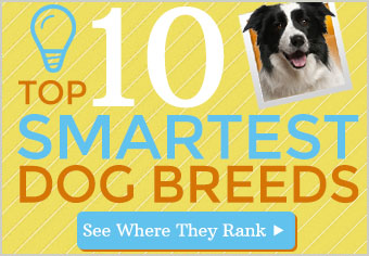 Top 10 Smartest Breeds