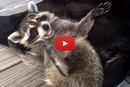 Wait Until You See What Happens To This Baby Racoon