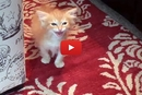 Watch Boris The Kitten Order A Meal!