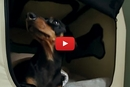 Watch How Crusoe The Dachshund Wakes Up!