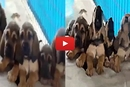 Watch How these Puppies Show their Excitement for Dinner!