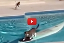 Watch This Cat Surf Across The Pool To Escape The Dog!