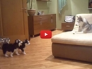 Watch This Husky Mother Go Crazy While Playing With Her Adorable Puppies!