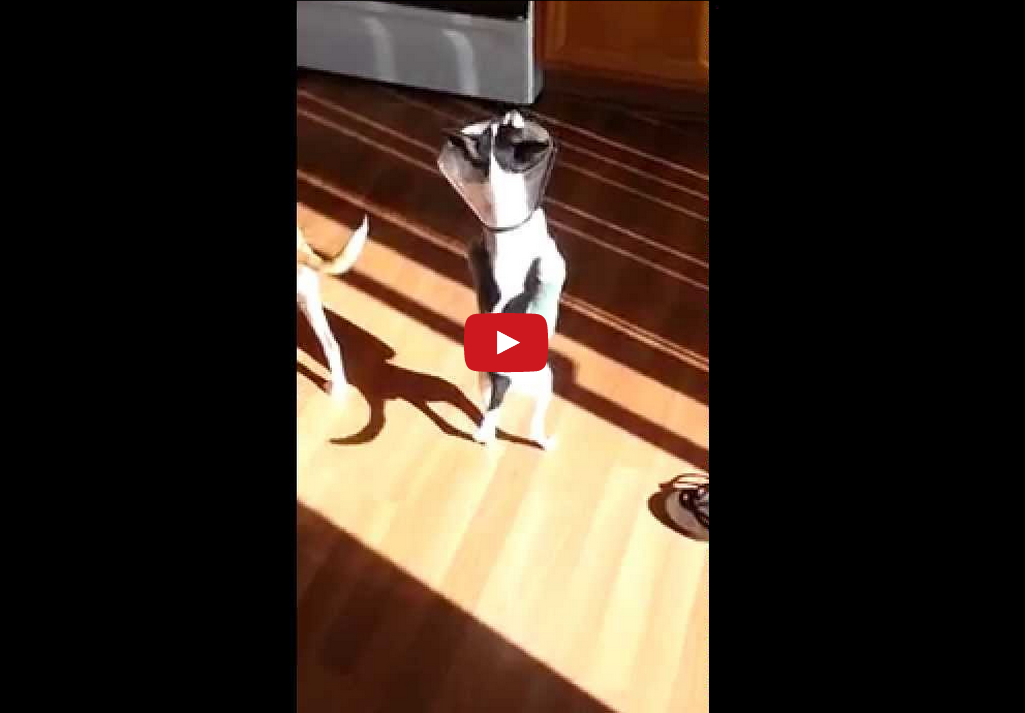 Watch This Injured Dog Get by on His Hind Paws Alone!!