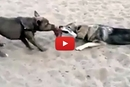 Watch This Lazy Dog Win At Tug-Of-War!