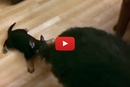 Watch This Puppy Hitch A Ride On His Mom's Tail