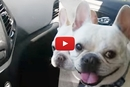 Watch What Happens When These Frenchies Get Asked About The Dog Park!