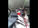 Watching This German Shepherd Dance with His Ears Will Make Your Week! He's so Talented!!