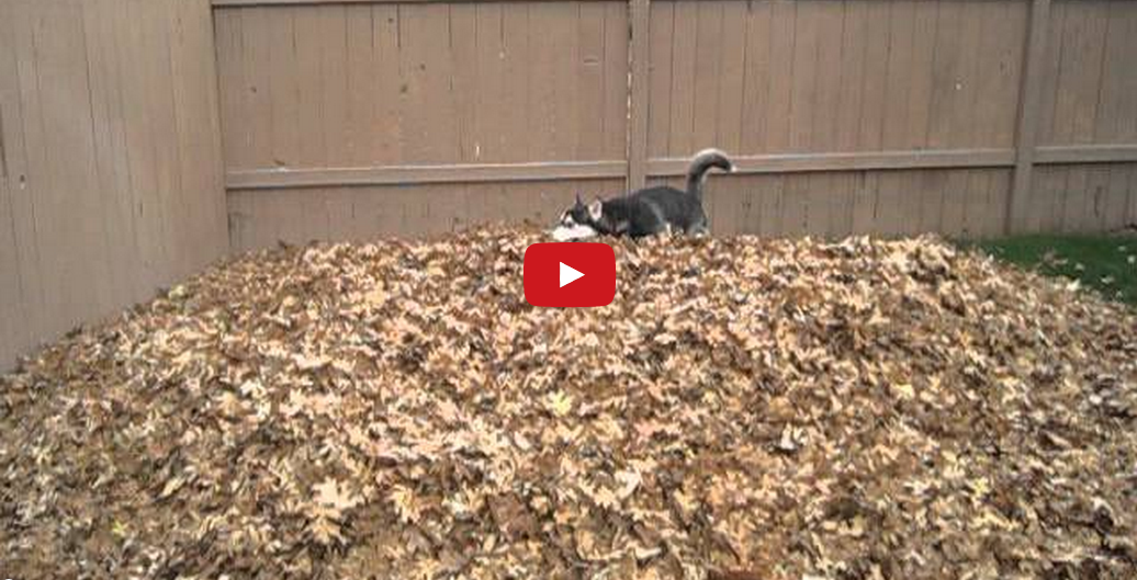 Welcome the Weekend! I Could Watch This Adorable Husky Jumping into Autumn Leaves ALL DAY!!