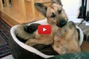When a Husky Starts Talking, This German Shepherd Has the Cutest Reaction