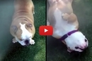 When The Sprinkler Comes On, Watch What This Bulldog Does!