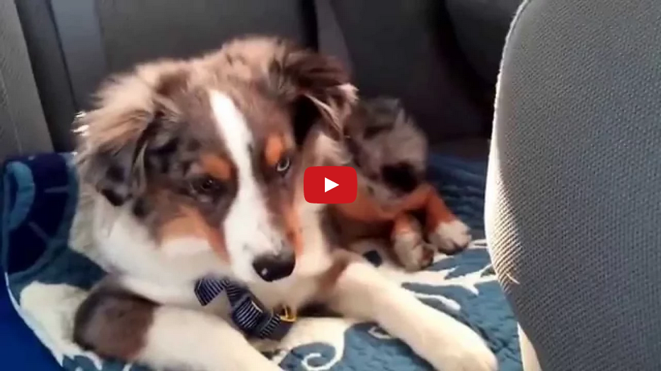 "When This Dog Hears ""Let It Go"" from Disney's Frozen, He Can't Help But Sing Along! Too Cute!!"