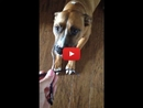 When This Guilty Dog Gets Caught, His Reaction is Too Cute!