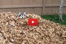 Who Knew A Dog Could Have This Much Fun In A Pile Of Leaves!