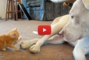 You'll Never Guess What This Pitbull Does When The Kitten Comes To Say Hi!