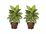 Dieffenbachia with Wood Vase Silk Plant (Set of 2) - Nearly Natural - 6712-VR-S2