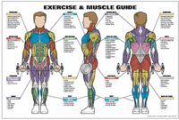 Exercise & Muscle Guide - Male $29.99