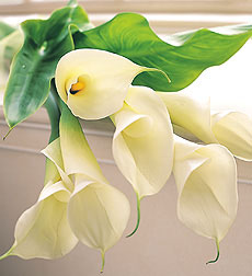Bloom of the Month - 6 Calla Lilies