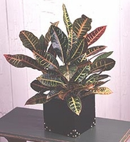 Croton Plant in Leather Container