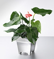Lady Jane Anthurium in Polished Aluminum
