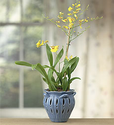 Oncidium Orchid in Scalloped Ceramic Pot
