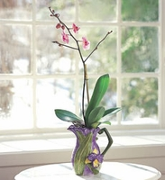 Orchid Plant in Orchid Pitcher