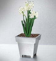 Paperwhites in Polished Aluminum Planter