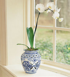 Phalaenopsis Orchid in Delft Style Jar