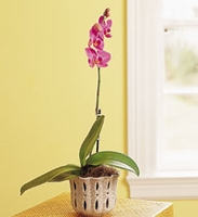 Phalaenopsis Orchid in Traditional Pot