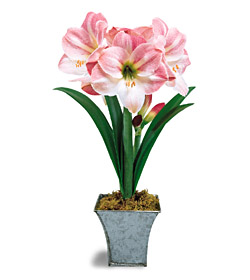 Ready to Grow Apple Blossom Amaryllis