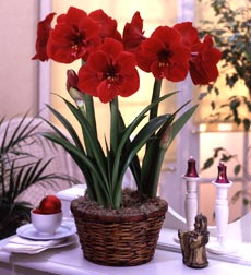 Red Amaryllis in Basket