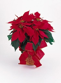 T083-05 Red Poinsettia