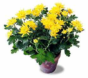 The FTD® Cushion Chrysanthemum