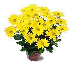 The FTD® Daisy Chrysanthemum (Lg)