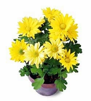 The FTD® Daisy Chrysanthemum (Sm)