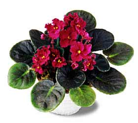 The FTD® Fuchsia African Violets