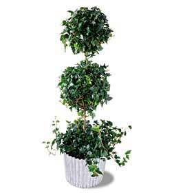 The FTD® Ivy Topiary (Lg)