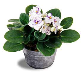 The FTD® White African Violets
