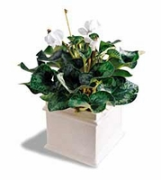 The FTD® White Cyclamen Plant