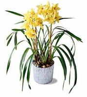 The FTD® Yellow Cymbidium Orchid