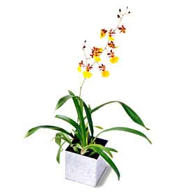 The FTD® Yellow Oncidium Orchid