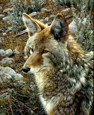 "Carl Brenders Limited Edition Print:""Natural Survivor - Coyote"""