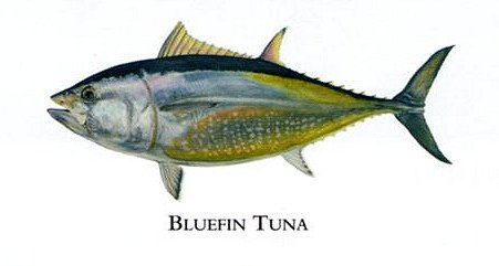 """Flick Ford Artist Handsigned Open Edition Giclee Print on Paper :""""Bluefin Tuna """""""