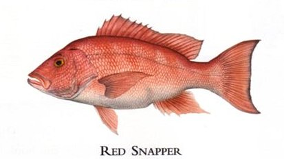 """Flick Ford Artist Handsigned Open Edition Giclee Print on Paper :""""Red Snapper """""""