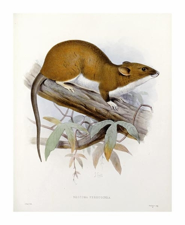 "J. G. Keulemans Fine Art Open Edition Giclée:""Nectoma Ferruginea"""