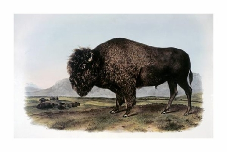 "John James Audubon Fine Art Open Edition Giclée:""American Bison or Buffalo"""