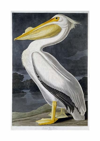 "John James Audubon Fine Art Open Edition Giclée:""American White Pelican"""