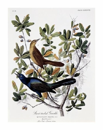 "John James Audubon Fine Art Open Edition Giclée:""Boat Tailed Grackle - Male and Female"""