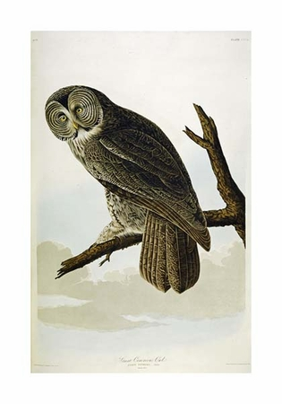 "John James Audubon Fine Art Open Edition Giclée:""Great Cinereous Owl"""