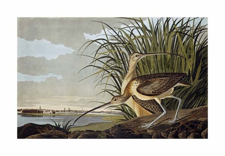 "John James Audubon Fine Art Open Edition Giclée:""Male and Female Long Billed Curlew"""